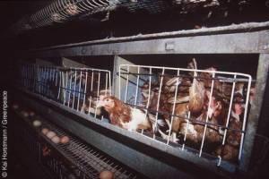 Industrial Chicken Farm (Massentierhaltung, Bild:Greenpeace.de)